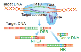 CRISPR/Cas 9 Technology