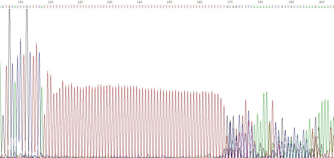 A-15.如在DNA样品中的DNA序列分布匀称,没有复杂结构时,正常的测序反应能保证达到800 Bases以上。但有一些DNA样品立体结构复杂,造成聚合酶延伸反应终止,测序信号突然减弱或消失,或者测序结果出现套峰现象。出现这些现象的原因由DNA模板本身所造成(公司保证进行2次以上的测序工作)。 对这些结果,公司会根据具体测序情况,进行收费(详细见测序结果说明)。出现这些情况的原因分析如下: (1) G/C rich、G/C Cluster:这种情况一般表现为测序信号突然减弱或消失(见图1); (2) A、
