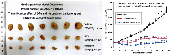 皮下移植肿瘤动物模型