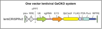 lentiCRISPRv2 single vector lentiviral GeCKO system