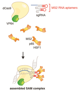 Three components -- dCas9-VP64, sgRNA-MS2, and MS2-p-HSF1 – form the assembled SAM complex