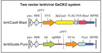 lentiCas9-Blast + lentiGuide-Puro two-vector lentiviral GeCKO system