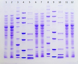 Stained Pierce Protein Gel for SDS-PAGE, gradient gel example.