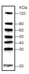 Protein Marker